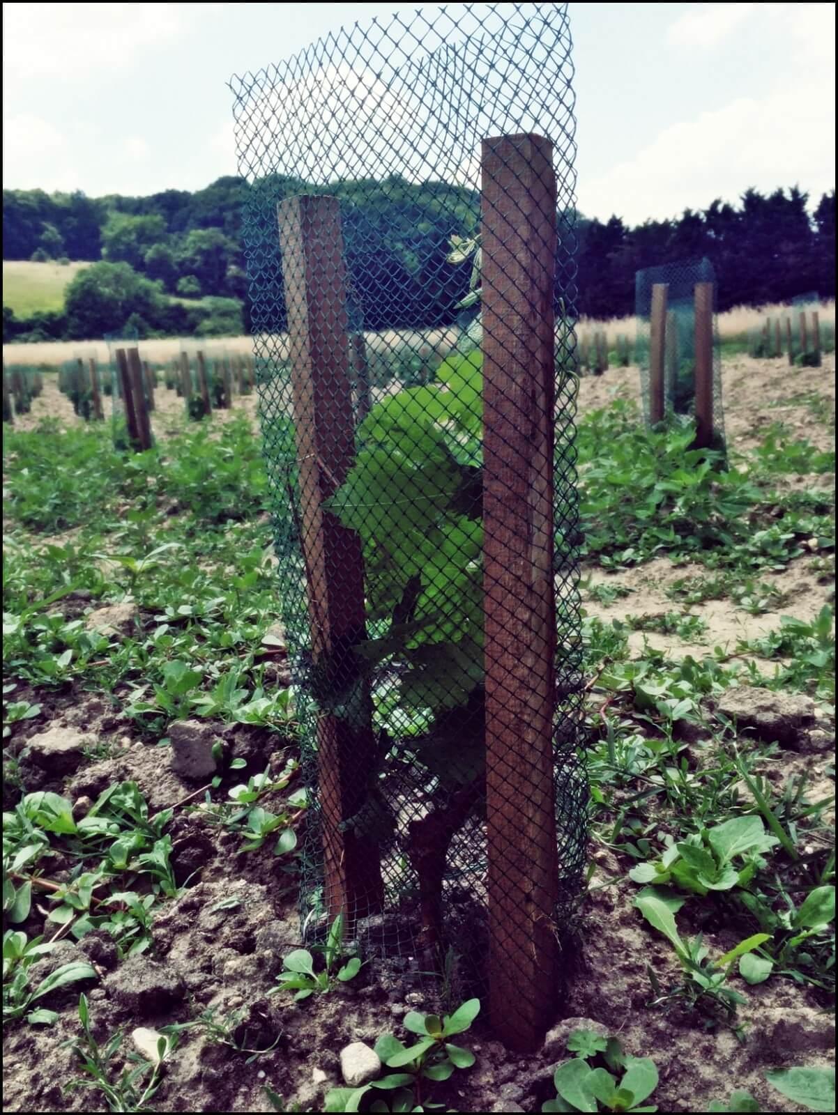 Plantation de Chenin et de Cabernet-Franc